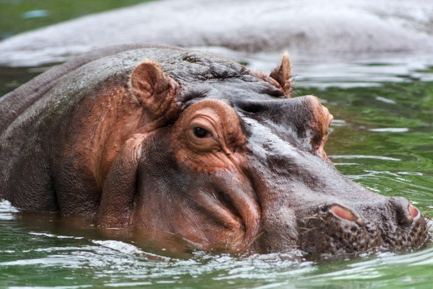 Hippo in water (CC-BY-3.0 - Alexdi at en.wikipedia)